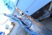 太刀魚の画像